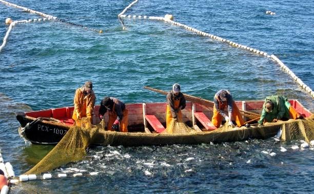 Прогнозы рыбаков по вылову и ценам на горбушу путины 2016 года