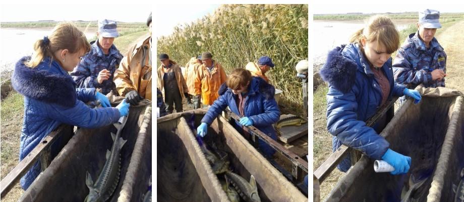 При прудовом выращивании рыбы проводят весенние и осенние бонитировки (учет рыб). В настоящее время на прудах НЭБ «БИОС» ФГБНУ «КаспНИРХ» продолжается бонитировка. Лаборатория аквакультуры участвует в ней, проводя профилактику заболеваний.