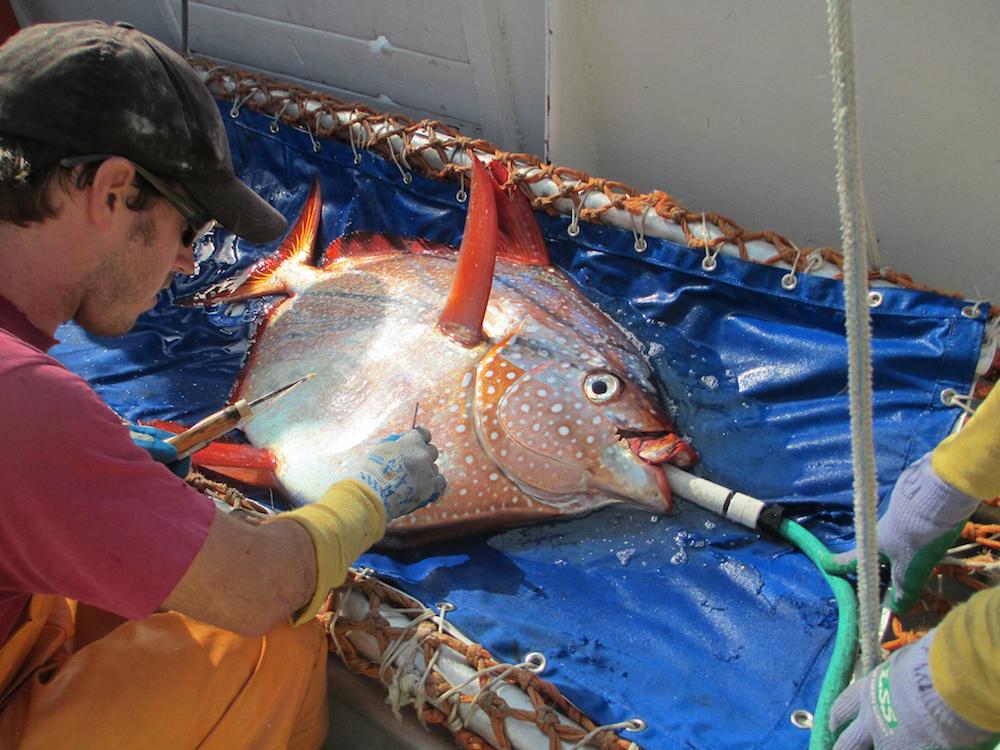 Ученые обнаружили первую в мире теплокровную рыбу